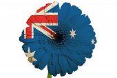 Gerbera Gänseblümchen Blumen In den Farben der Nationalflagge Australiens auf weißem Hintergrund als Konzept und Symbo