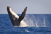 picture of exhibitionist  - A Humpback whale breach in the hervey bay Australia