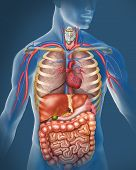 stock photo of cardiovascular  - reprecentada illustration of a figure with a blue shifted with the anatomy of the human body - JPG