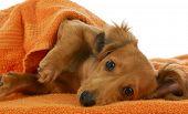 stock photo of long-haired dachshund  - dog bath  - JPG