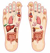stock photo of stimulation  - illustration of the soles of the feet indicating the points of every organ of the human body - JPG