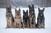 Five German Sheepdogs