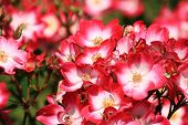 Roses In Pink Red And White In A Park