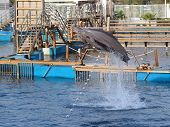foto of bottlenose dolphin  - dolphins jumping in formation in an aquarium - JPG