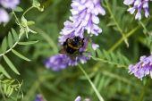 The Worker Bumblebee