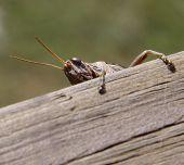 Grasshopper Hanging On