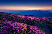 Magic pink rhododendron flowers under the dark blue sky. Majestic Carpathian, Ukraine, Europe. Beaut