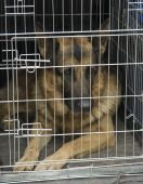 German Shepherd In A Car Cage.