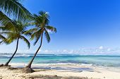 Coconut palms on the Caribbean Sea beach of Le Moule, Guadeloupe