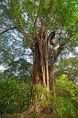 Gigantic Ficus