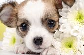 pic of chiwawa  - Adorable Chihuahua puppy with white flowers close - JPG