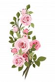 stock photo of rose bud  - Branch with pink roses - JPG