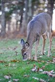 Deer in Shenandoah National Park in Autumn