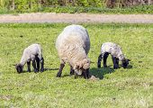 image of spring lambs  - Spring pasture with flock of sheep and lambs - JPG
