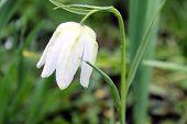 Fritillaria white