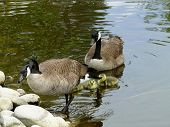 Canadian Geese with Babies