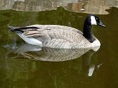 Canada Goose Reflection