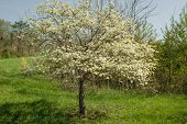 Flowering Dogwood Tree on the Blue Ridge Parkway