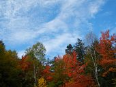 Maples in fall colors against a blue sky with cirrus clouds