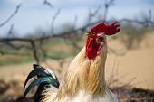 Photogenic rooster