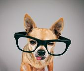 a cute chihuahua with black school glasses on with his tongue poking out