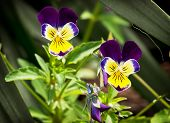Purple And Yellow Viola Flowers