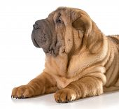 stock photo of shar-pei puppy  - chinese shar pei puppy laying down isolated on white background - JPG