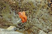 picture of echinoderms  - Orange starfish  - JPG