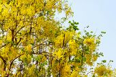 picture of vishu  - National tree of Thailand Golden Shower Tree Art Print - JPG