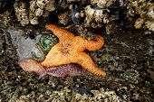 stock photo of echinoderms  - Orange ochre starfish  - JPG