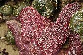 foto of echinoderms  - Purple sea star  - JPG