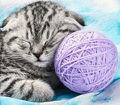 picture of scottish-fold  - Scottish Fold kitten sleeps on the tangles of yarn - JPG