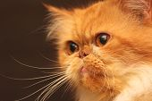 Portrait of a beautiful orange Persian cat