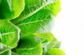 image of hydroponics  - hydroponics green cos vegetable salad in the organic salad - JPG