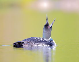 image of loon  - Common Loon swimming on a reflective lake in Northern Canada - JPG