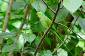pic of parakeet  - beautiful male Alexandrine Parakeet (Psittacula eupatria) in Thai forest