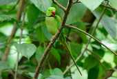 picture of parakeet  - beautiful male Alexandrine Parakeet (Psittacula eupatria) in Thai forest