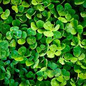 Green Clover Trefoil Texture Background