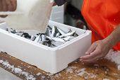 Fishermen prepare sardines for transportation