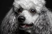 closeup portrait poodle