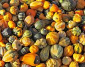 Autumn pumpkin holiday - Halloween. Gorgeous mature green, striped and orange pumpkins spread out on