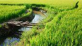Vietnam Yellow Paddy Field, Bamboo Bridge