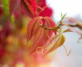 close-up photo of colorful autumn grape leaves. soft focus