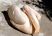 Great Pelican (pelecanus Onocrotalus) Close