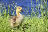 pic of baby goose  - A baby gosling in long grass by a pond in spring.