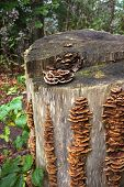 stock photo of bracket-fungus  - Numerous brown bracket fungi in rows and a fungus in the form of a rosette grow on a tree stump in the forest - JPG