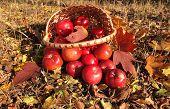Apples in basket
