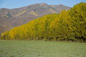 Fall Landscape With Huge Poplar Trees And Mountains