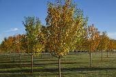Autumn Orchard Of Decorative Trees With Some Leaves On Ground