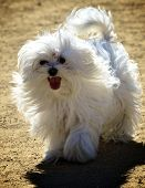 Playful Fluffy White Dog